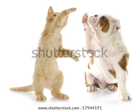 kitten standing up giving high five to english bulldog puppy with reflection on white background - stock photo