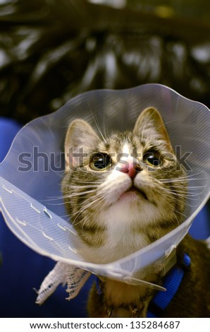 Kitten wearing protective collar after sterilization surgery