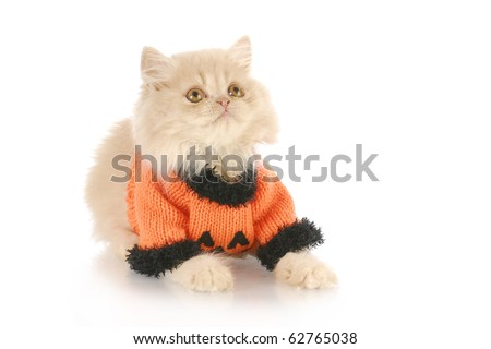 kitten wearing pumpkin sweater for halloween - purebred cream colored persian - 12 weeks old - stock photo