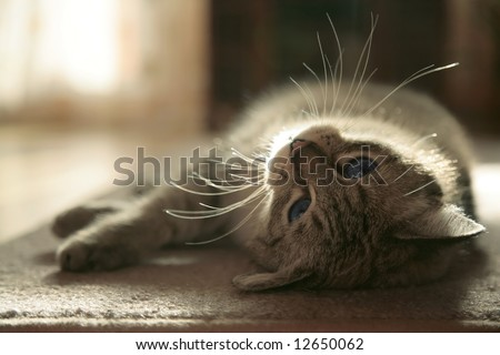 kitten with blue eyes rests on the floor - stock photo
