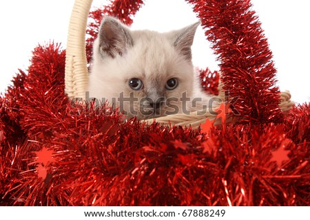 kitten with red New Year's toys, on a white background is isolated.