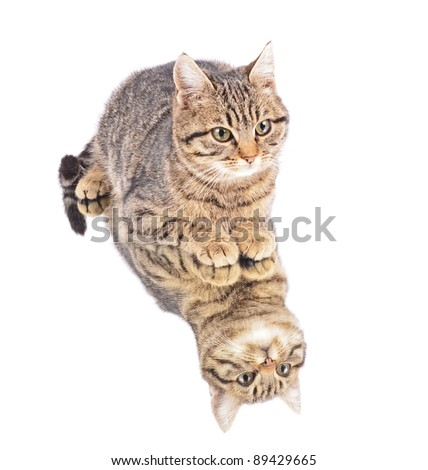 kitten with reflection, isolated white background