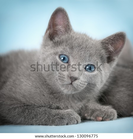 """Kittens (breed """"Russian Blue"""") on the blue background - stock photo"""