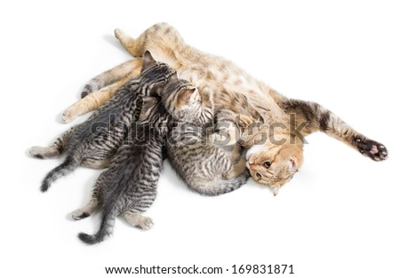 kittens brood feeding by happy mother cat isolated on white background - stock photo