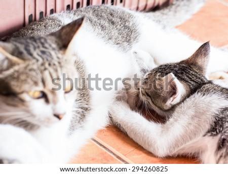 Kittens eating milk cat mom,Focus Kittens. - stock photo