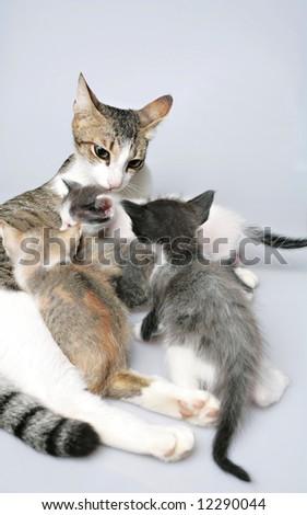 Kittens having breast feed by her mum - stock photo