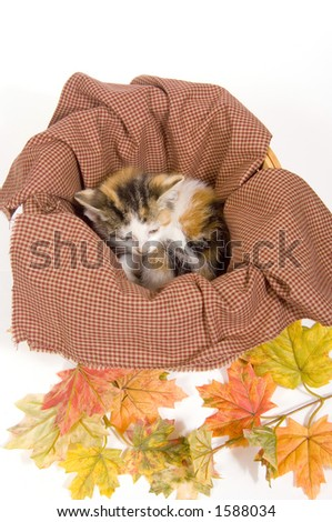 Kittens in a basket on a white background with fall leaves (artificial) - stock photo