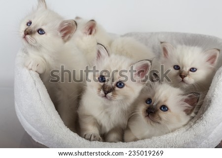 Kittens in the couch, sacred cat, kittens, tibetan monks, white background, blue eyes, isolated  - stock photo
