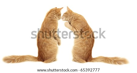 kittens kissing  isolated on white background - stock photo