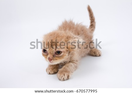 Kittens of British breed on a white background
