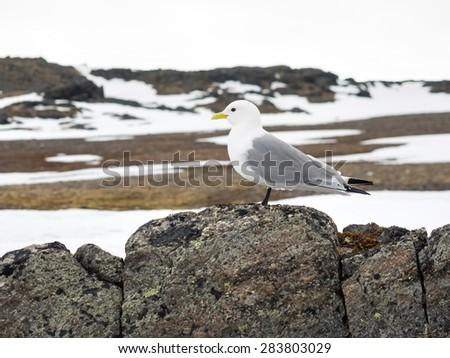 Kittiwake - Arctic bird - stock photo