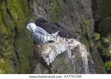 Kittiwake sittig on a nest with two eggs