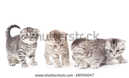 kittys of the scottish sort on white background