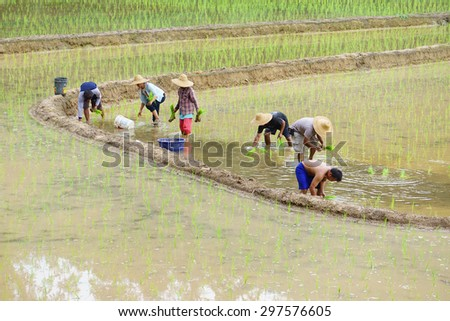 Kiulu Sabah Malaysia-July 18, 2015:A group of unidentified farmers planting paddy using traditional method at Kiulu Sabah.Most farmers in this area grow paddy for self sufficiency once a year.