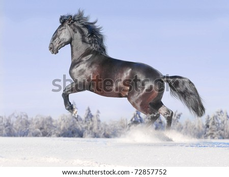 kladrub horse in winter - stock photo