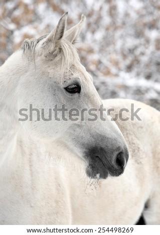 Kladruber horse portrait gray stallion in winter - stock photo