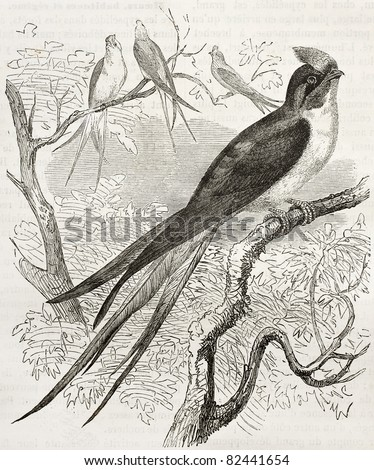 Klecho Swallow old illustration (Dendrochelidon klacho). Created by Kretschmer, published on Merveilles de la Nature, Bailliere et fils, Paris, 1878 - stock photo
