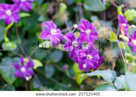 klimatis flowers outside day green leaves - stock photo