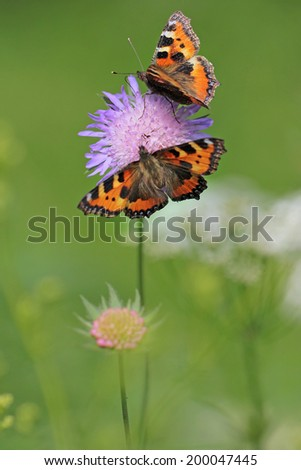 Knautia arvensis, commonly known as Field Scabious -( perfect macro details of flower ) with Aglais urticae butterflies - stock photo