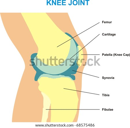 Knee Joint Cross Section Showing Major Stock Illustration 68575486