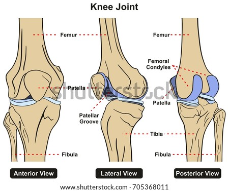 Knee Joint Human Body Anatomy Infographic Stock Illustration