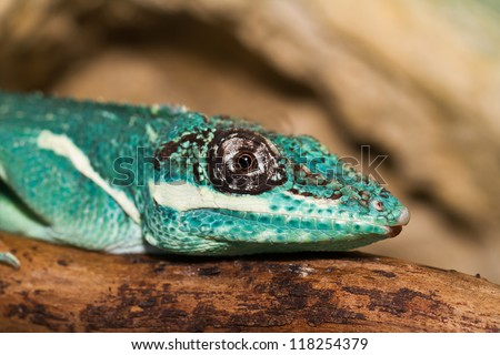Knight Anole in the nature ( Anolis equestris ) - stock photo