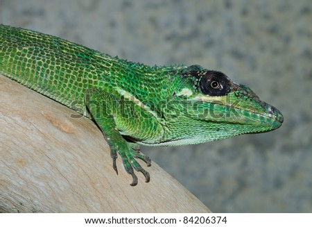 Knight Anole sitting on wooden branch - stock photo
