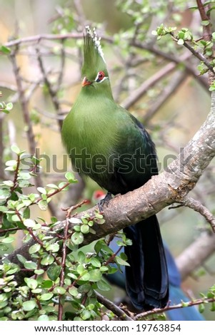 Knysna Turaco or Loerie perched in a tree - stock photo