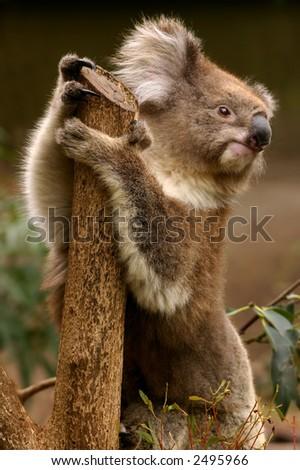 Koala - stock photo