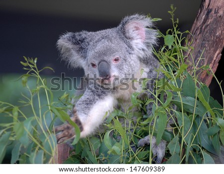 Koala and Eucalyptus, Sydney Australia - stock photo