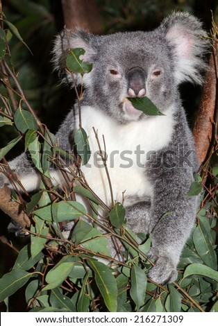 koala are native to australia sleep many hours a day. They are called bears but are a marsupial - stock photo