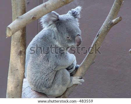 Koala Bear - stock photo