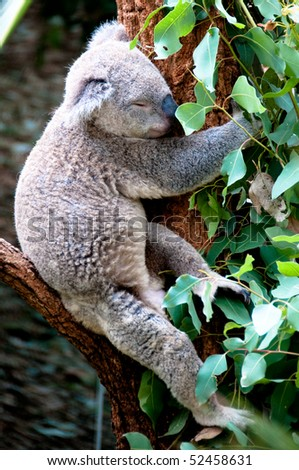 Koala Bear at a Wildlife preserve in Sydney, Australia.