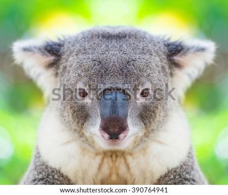 koala face stock images royalty free images vectors shutterstock. Black Bedroom Furniture Sets. Home Design Ideas