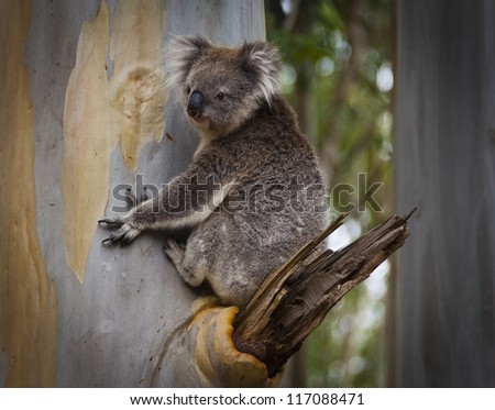 Koala Bear in Eucalyptus Tree - stock photo