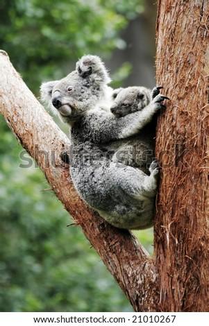 Koala Bear Mother And Baby Sitting On Tree, Australia - stock photo