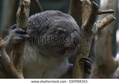Koala Close Up - stock photo