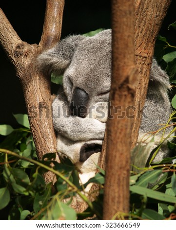 Koala, Currumbin, Australia - stock photo