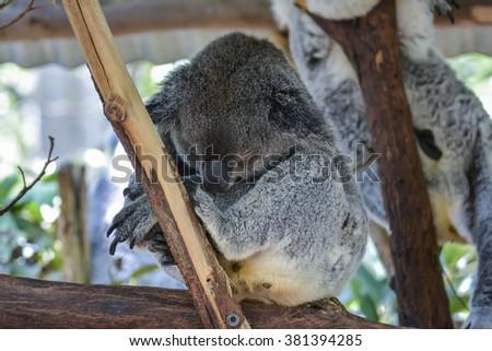 Koala in Brisbane, Australia - stock photo