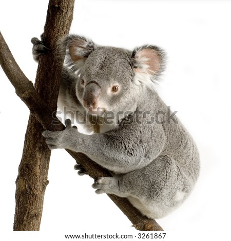 Koala in front of a white background