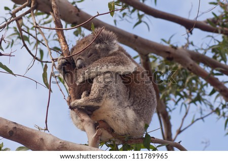 koala in gum tree looking down