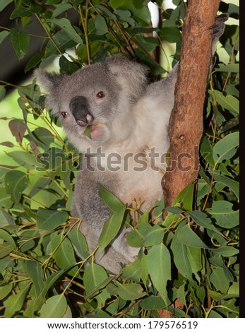 koala in gum tree, they sleep most of the time - stock photo