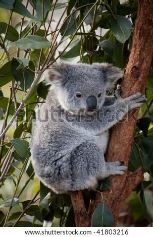 Koala in gumtree - stock photo