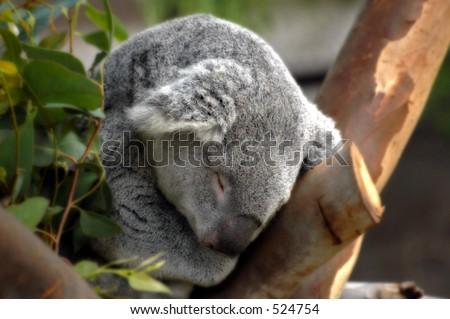 Koala in Tree - stock photo
