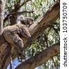 koala is sleeping on the tree - stock photo
