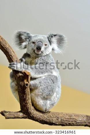 Koala on a tree, selective focus.  - stock photo