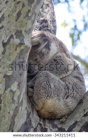 college application topics about koala essay one reason is the loss of habitat which means that koalas have less space to live koala papers whole various high quality koala papers products from