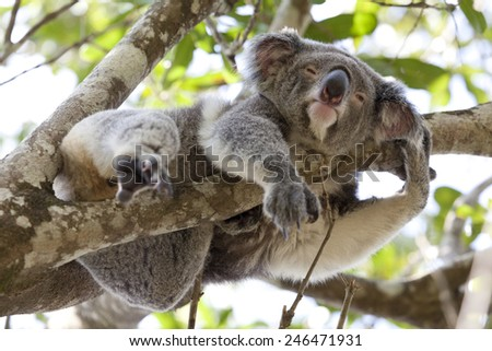 Koala relaxing in a tree, Queensland, Australia - stock photo