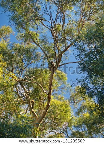 Koala, resting on a tree and being lazy - stock photo