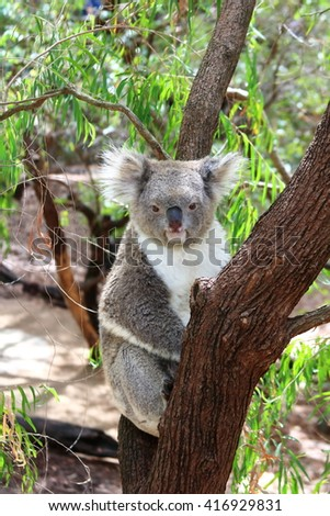 Koala resting on a tree branch, enjoying a moment of relaxation - stock photo
